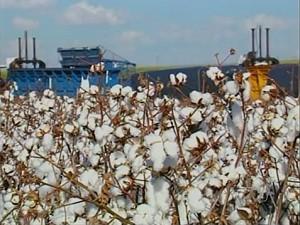 Cultura de algodão sofre com a estiagem (Foto: Reprodução/TV Anhanguera)