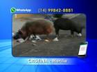 Com atraso na coleta e acúmulo de lixo, porcos são flagrados em rua