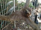 Bicho preguiça e capivara são resgatados na Zona Oeste do Rio