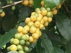 Safra de café no Triângulo Mineiro pode aumentar em até 80% neste ano