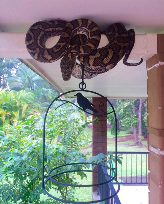 Cobra enorme foi flagrada de 'tocaia' à espera de presas na Austrália (Foto: Reprodução/Facebook/Sunshine Coast Snake Catchers 24/7)