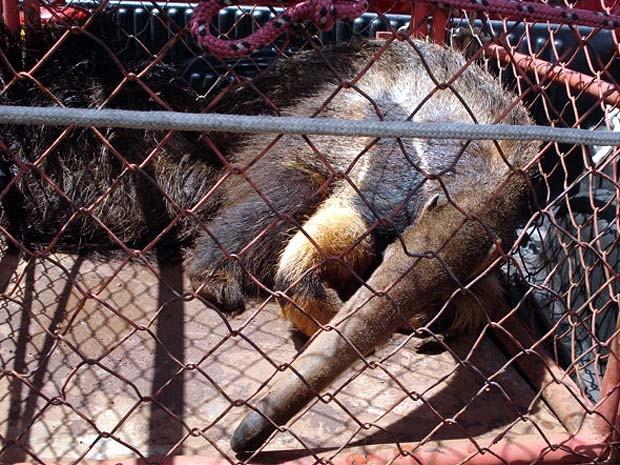 Animal estava preso no corredor de uma residência em Igarapava (Fot Divulgação/ Polícia Militar)