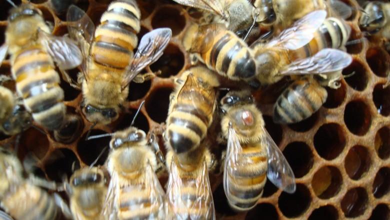 varroa-abelha (Foto: Creative Commons/Emma Jane Hogbin Westby )