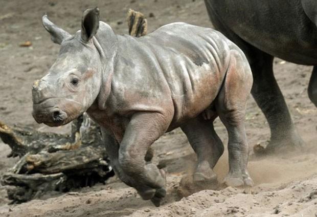 Este exemplar nasceu em março no zoo europeu (Foto: Holger Hollemann/AFP)