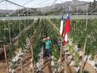 Chile ganha maior plantação de maconha para uso terapêutico