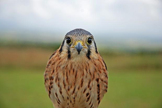 Quiriquiri (Falco sparverius) (Foto: Arquivo TG)