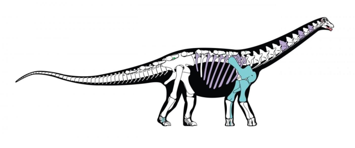 Esqueleto reconstruído do Mansourasauro. Em azul os ossos preservados no fóssil. (Foto: Andrew McAfee, Carnegie Museum of Natural History)