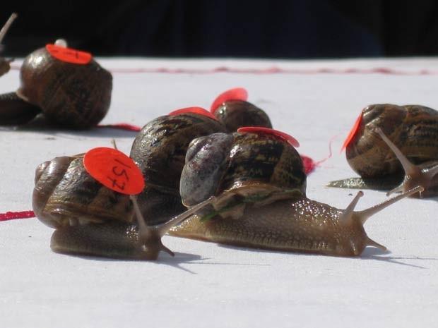 Mundial de corrida de caracol foi disputado no sábado no Reino Unido. (Foto: Divulgação)