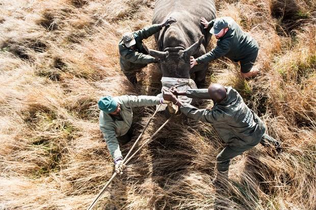 Após capturado, rinoceronte é conduzido para dentro de um contêiner (Foto: Stefan Heunis/AFP)