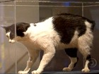 Gato sem cauda vira produto de exportação de ilha britânica