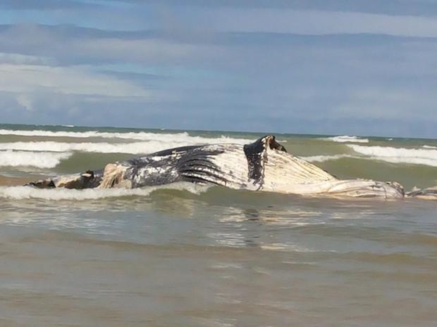 Baleia da espécie jubarte encalhou no Pontal do Peba (Foto: Arquivo Pessoal/Tiago Castro)