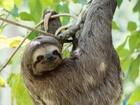 Museu Emílio Goeldi lança campanha para ajudar bicho-preguiça