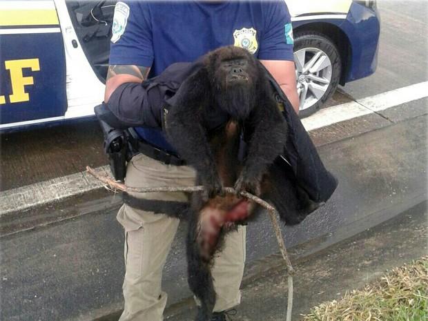 Macaco bugio foi encontrado ainda com vida na Rodovia Fernão Dias após ser atropelado em São Sebastião da Bela Vista (Foto: Polícia Rodoviária Federal)