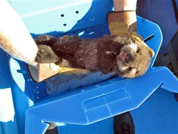 Filhote de lontra foi encontrado em praia na Califórnia com apenas um dia de vida, em 19 de outubro (Foto: Morro Bay Harbor Department via AP)