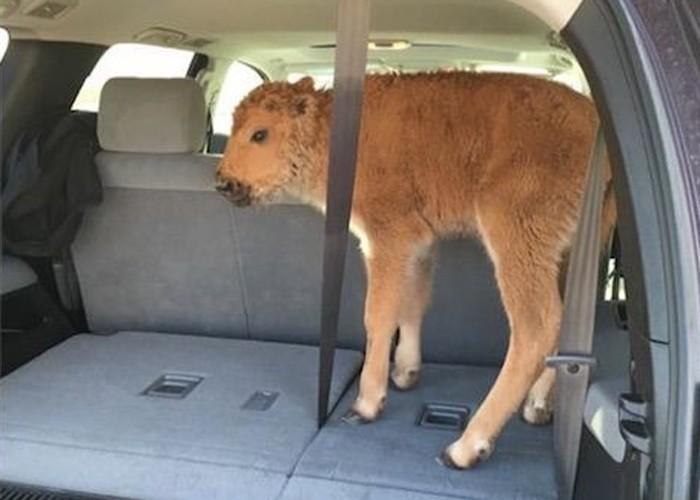 Testemunhas registraram o momento em que bisão foi levado para carro (Foto: Reprodução/Facebook)