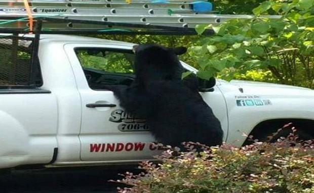Ursa bebeu refrigerantes e pegou comida para seus filhotes (Foto: Reprodução/Twitter/WTVM)
