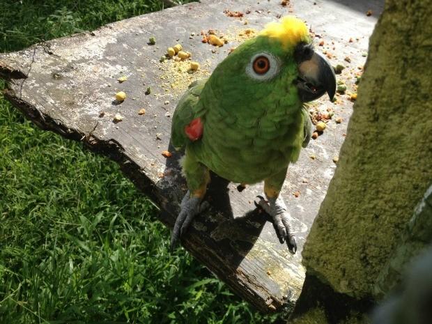Papagaio e outras espécies de aves fazem parte da lista de animais aptos para doação à zoológicos (Foto: Ivanete Damasceno/G1)
