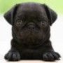 Papel de Parede: Black Pug Puppy