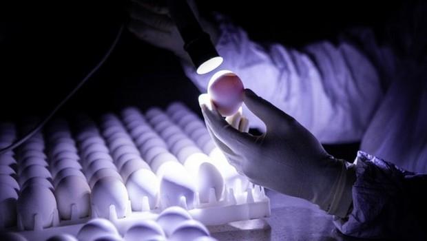 Ovos sendo inspecionados no Butantan; é neles que está sendo injetado vírus da 'doença de Newcastle' com proteína S do coronavírus, para produzir a ButanVac (Foto: INSTITUTO BUTANTAN)