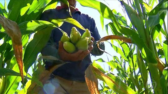 Chuva ajuda e produtores de milho do Nordeste comemoram colheita na época de São João