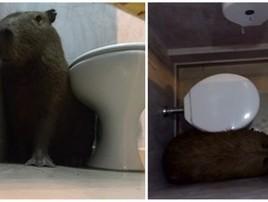 Capivara em banheiro de lanchonete assusta mulher: 'Lobisomem' (Sandra Ruffo/Arquivo Pessoal)