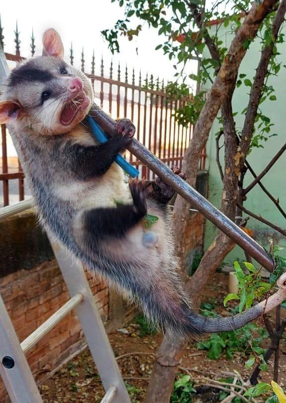 Gambá é resgatado em residência de Araguari