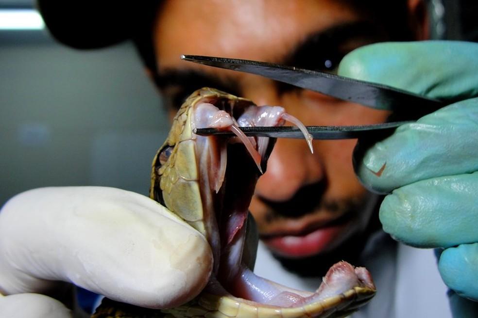 O soro polivalente é capaz de neutralizar o envenenamento por jararacas e cascavéis  — Foto: Willianilson Pessoa/Arquivo