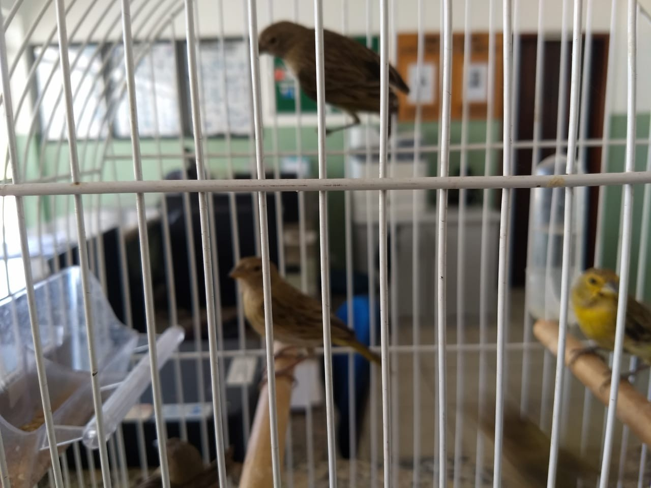 Homem é detido após ser flagrado com pássaros silvestres presos dentro de cano - Notícias - Plantão Diário