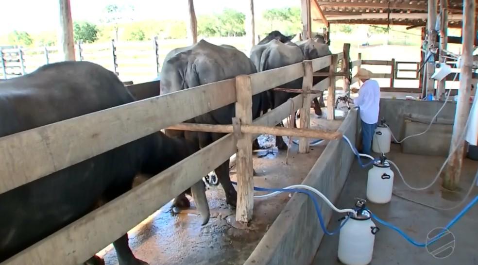 Criador investe na produção de leite de búfala — Foto: Reprodução/TVCA