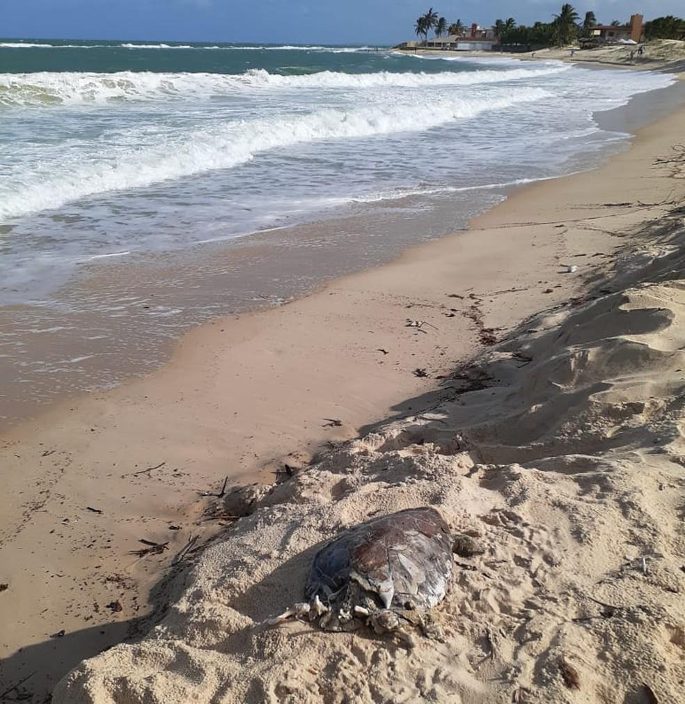 Tartarugas foram encontradas na Praia de Tabatinga, Nísia Floresta, na Grande Natal — Foto: PCCB/UERN