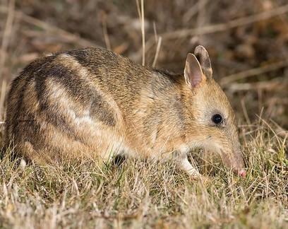 Considerado extinto na natureza, marsupial volta a habitat na Austrália