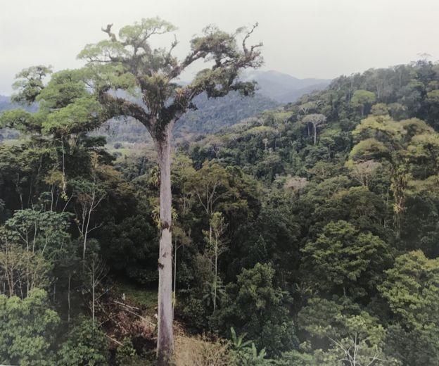 O jequitibá de Camacã, na Bahia, é considerado atualmente a maior árvore da Mata Atlântica, com 58 metros de altura e 13,6 metros de circunferência do tronco, medida a 1,3 metro do solo (Foto: LUCIANO ZANDONÁ, via BBC)