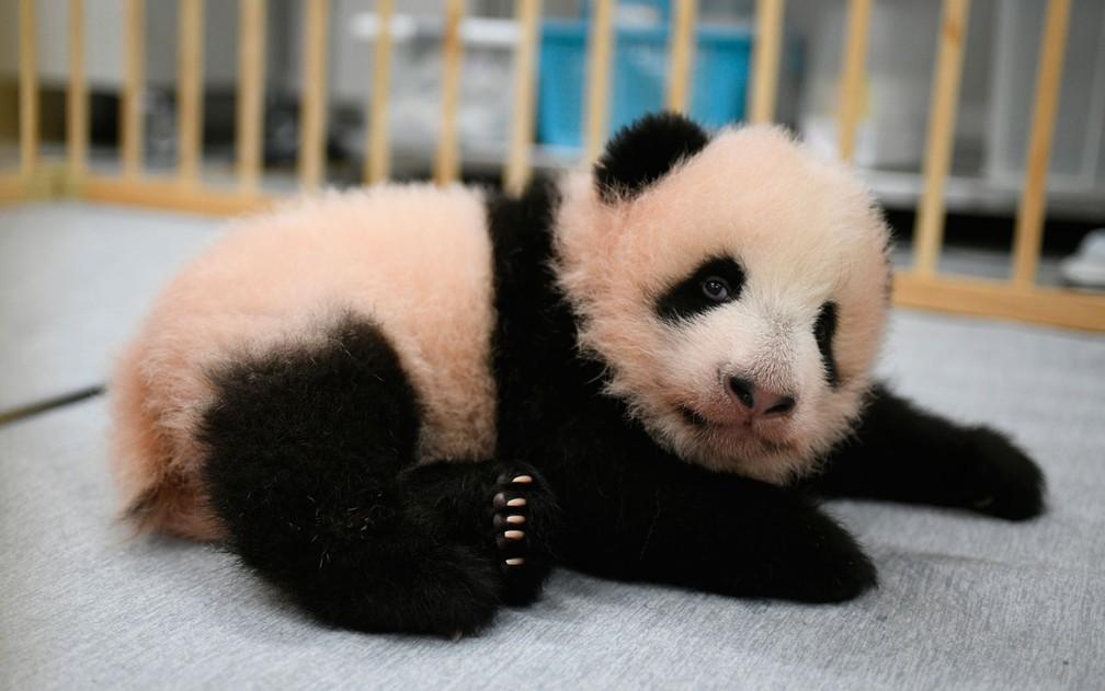 A filhote de panda Lei Lei, nascida no Ueno Zoo, de Tóquio, no Japão, em foto divulgada no dia 4 de outubro — Foto: Tokyo Zoological Park Society via AP