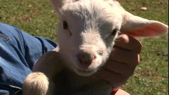 Criador que vendia carne de ovelhas, atualmente só negocia a lã dos animais