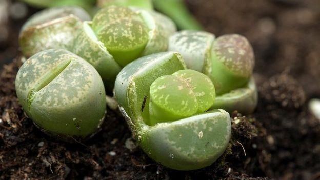 Isso é um animal, uma planta ou um mineral? É um lithop, claro! (Foto: Getty Images via BBC News)