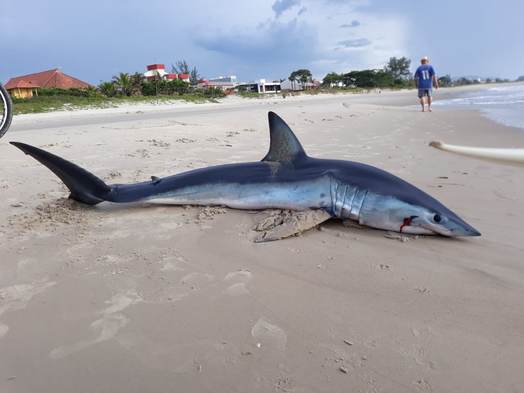 Tubarão-mako de 2,26 metros é encontrado encalhado em praia do litoral do Paraná