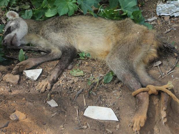 O guaxinim foi encontrado em um bairro da Zona Norte de Petrolina (Fot Givaldo Nere dos Santos/TV Grande Rio)
