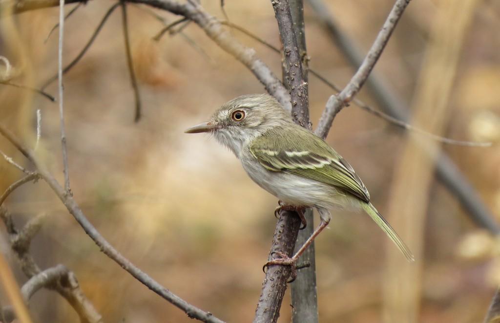 Sebinho-de-olho-de-ouro é ave discreta comum da Caatinga, Cerrado e Pantanal - Notícias - Plantão Diário