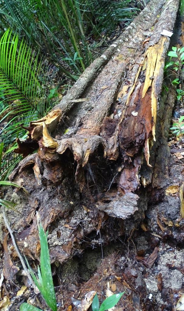 Mortalidade de árvores da Amazônia ocorre em meses chuvosos mesmo em ano de seca, aponta Inpa - Noticias