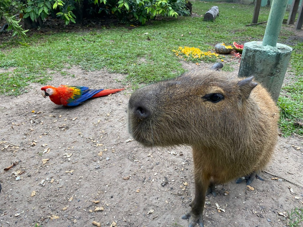 A capivara e a arara: uma amizade improvável — Foto: Caíque Rodrigues/G1 RR