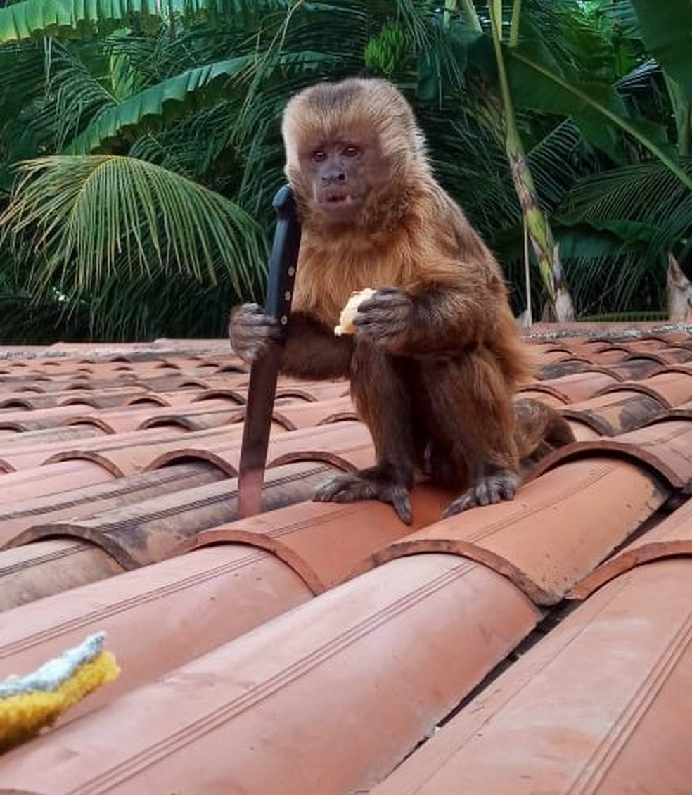 Macaco foi flagrado segurando faca, no Sertão da Paraíba — Foto: TV Paraíba/Reprodução
