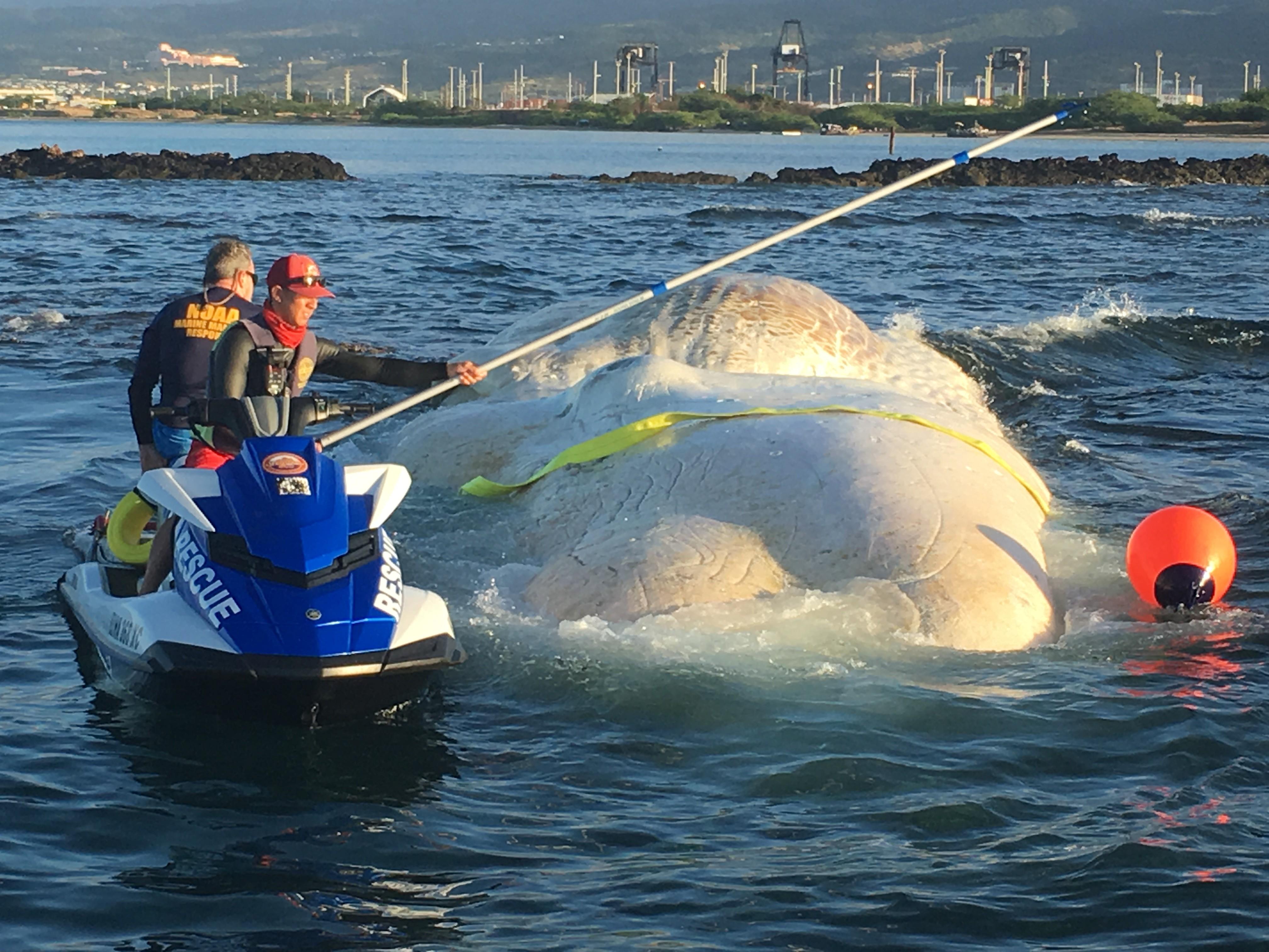 Carcaça de uma baleia cachalote da espécie Physeter macrocephalus (Foto: DLNR/ Divulgação)