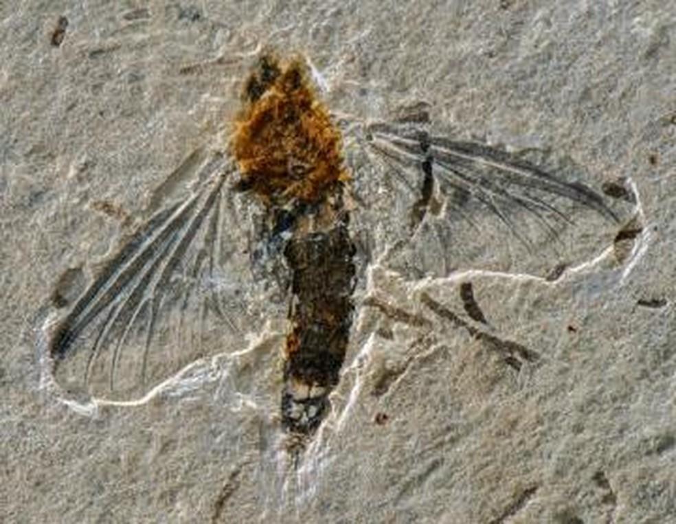 Pesquisadora do ES descreve fóssil de nova espécie de inseto raro que viveu há milhões de anos
