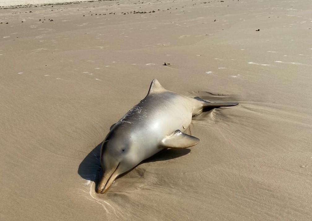 Toninha foi encontrada morta neste domingo na Praia da Joaquina, em Florianópolis — Foto: Associação R3 Animal
