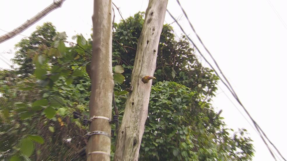 Casal aproveitou um ninho antigo de pica-pau. — Foto: Aurélio Sal/TG