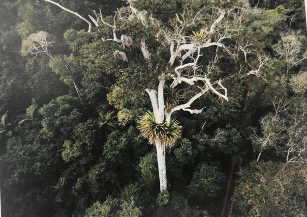 Colar de bromélias em torno de árvore na Reserva Natural Vale, em Linhares, no Espírito Santo (Foto: LUCIANO ZANDONÁ)