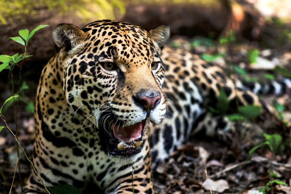Onça-pintada (Panthera onca) em foto de junho de 2012, no México. Espécie é o maior felino das Américas e está criticamente ameaçada de extinção na caatinga. — Foto: WWF / AFP