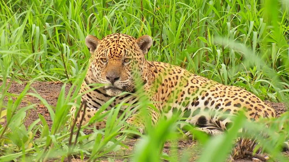 A onça macho, batizada de Ousado, ficou 36 dias em recuperação até voltar a viver em liberdade no Pantanal — Foto: Globo Repórter