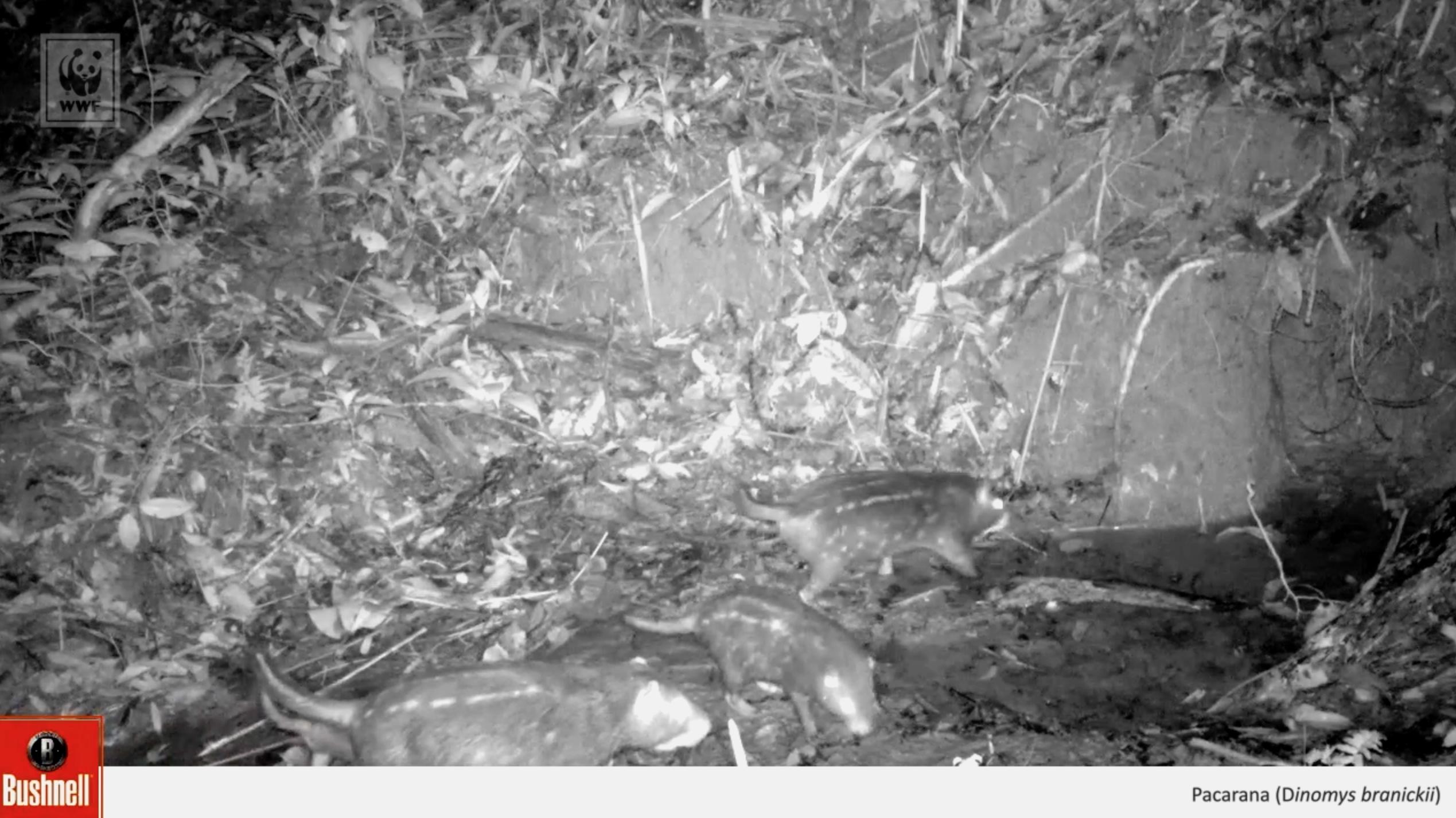 Pacaranas flagradas na Reserva Extrativista Chico Mendes, no Acre (Foto: WWF-Brasil)