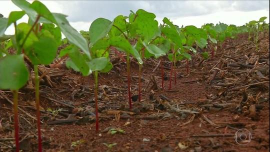 Safra de algodão deve ser recorde no Brasil